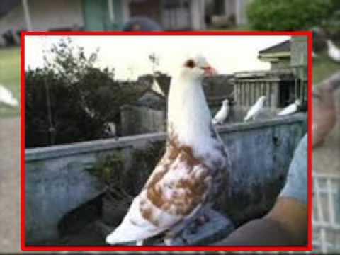 Download 530+ Foto Gambar Burung Dara Aduan HD Paling Unik