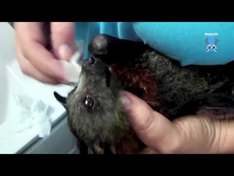 Dressing a juvenile flying-fox's wrists:  this is Westie