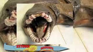 """Impresionante hallazgo de un tiburón ANGUILA """"prehistórico"""""""