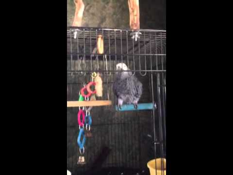 Simba Congo African grey talking