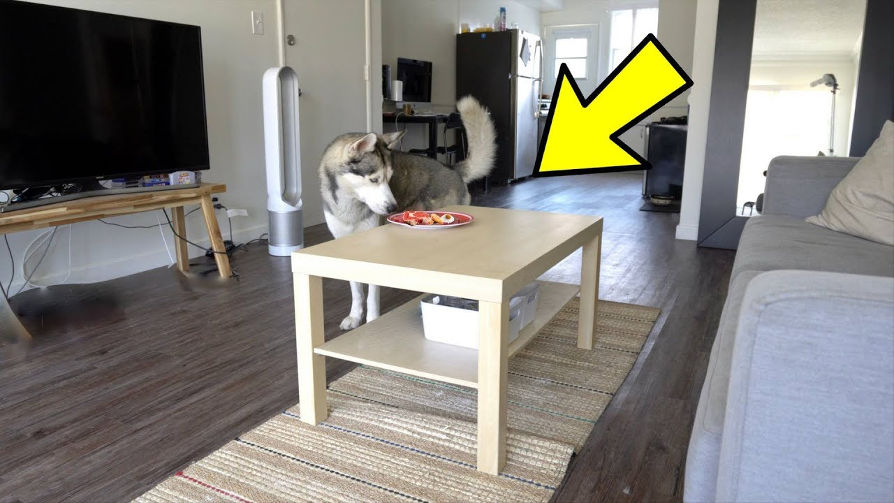 will-my-husky-steal-food-off-the-table-while-i-m-away