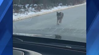 Dad kills coyote with bare hands