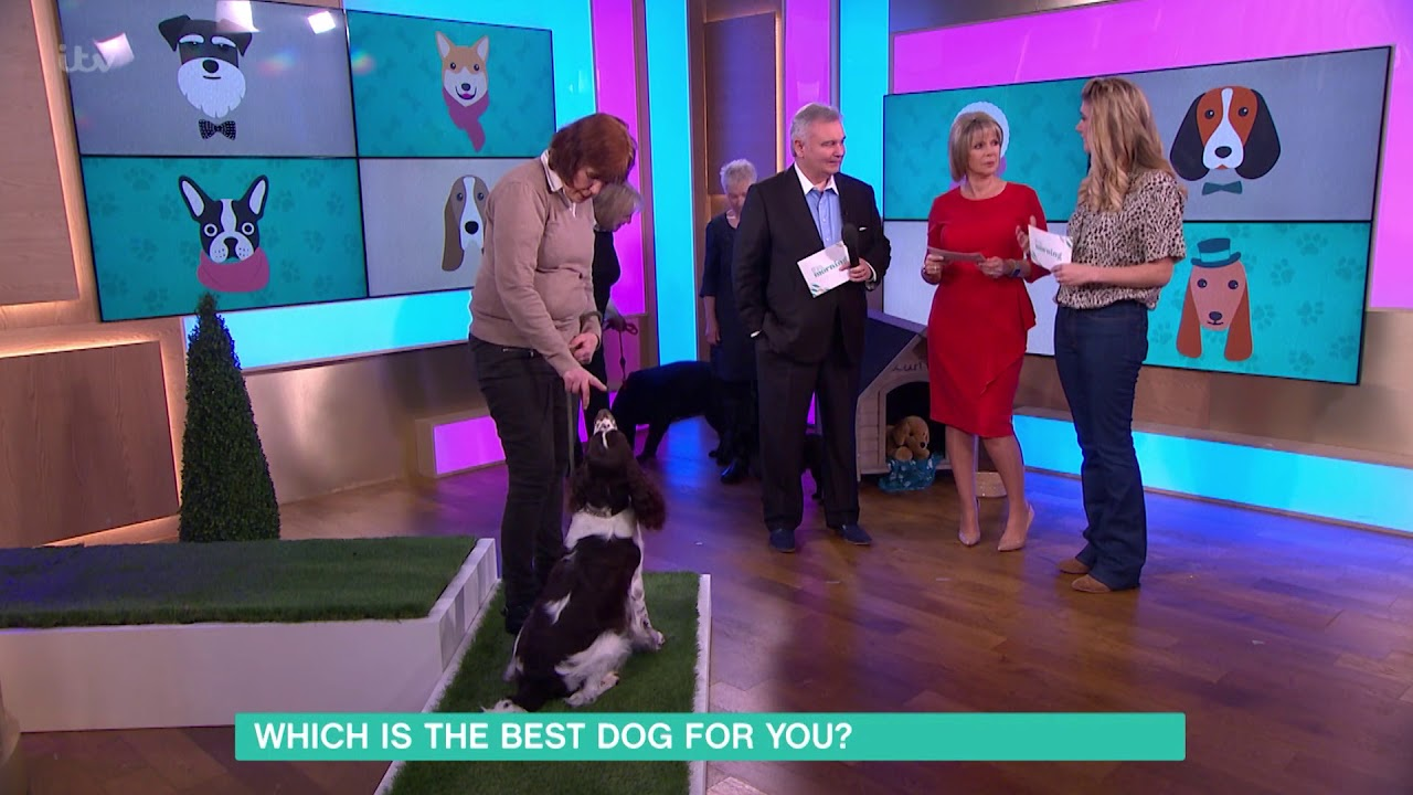 Which is the Best Dog for You? - English Springer Spaniel | This Morning