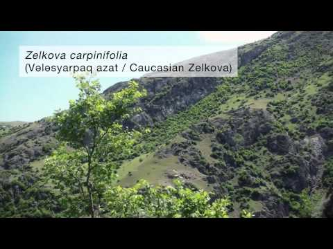 (Azeri sub.) Relict trees of the Hyrcanian Forests in the Talysh Mountains of Azerbaijan