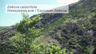 azeri sub relict trees of the hyrcanian forests in the talysh mountains of azerbaijan