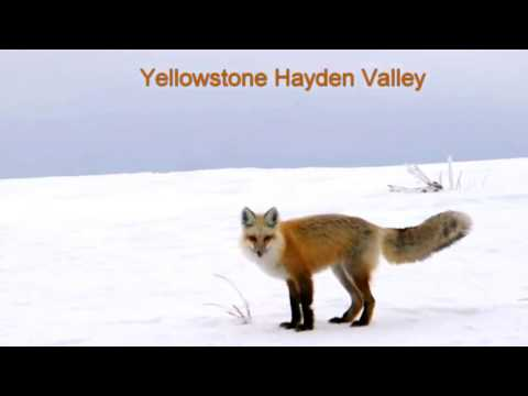 Red Fox Nabs a Mouse! The Wolf Howls! @Yellowstone