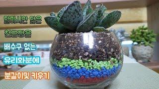 다육이 천금장 배수구없는 유리 화분에 분갈이및키우는 방법 알아보기~!Succulent
