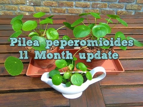 Pilea peperomioides 11 month update