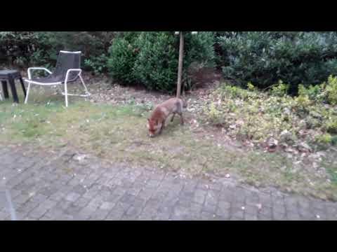 De vos aan ons huisje  in ermelo