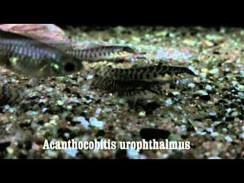 Header of Acanthocobitis urophthalmus