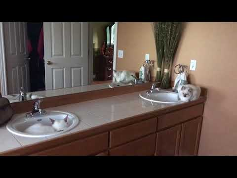 Two kittens in sink - morning fun with ragdolls - two kittens in one bathroom