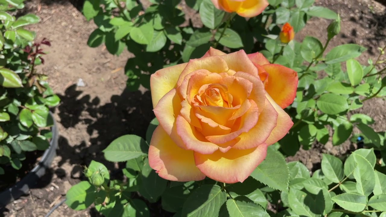 Spring Rose Garden Tour!