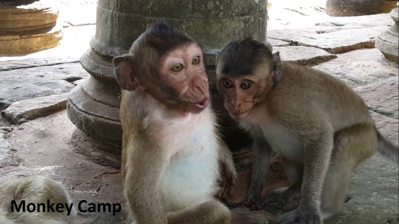 Become a good baby he less cry, Real baby monkey in Angkor ...