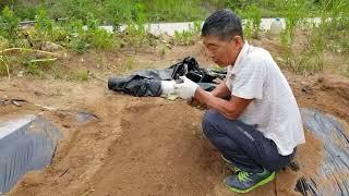 고구마농사 재배방법, 심는방법5가지, 품종특성, 수확 및 저장방법 병해충 방제방법