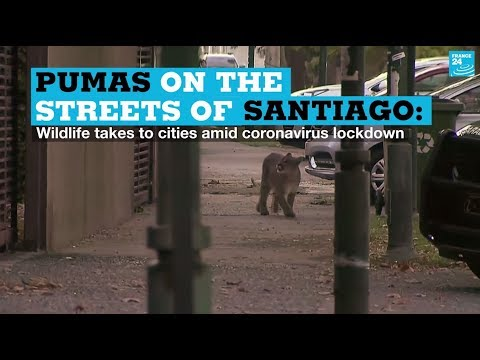 Pumas on the streets of Santiago: Wildlife takes to cities amid coronavirus lockdown