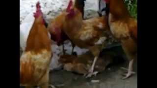 اغتصاب جماعي لدجاجة