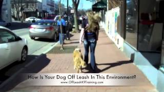Bowie Off Leash Heeling Through Fredericksburg's Busy Streets And 100+ Yard Obedience!