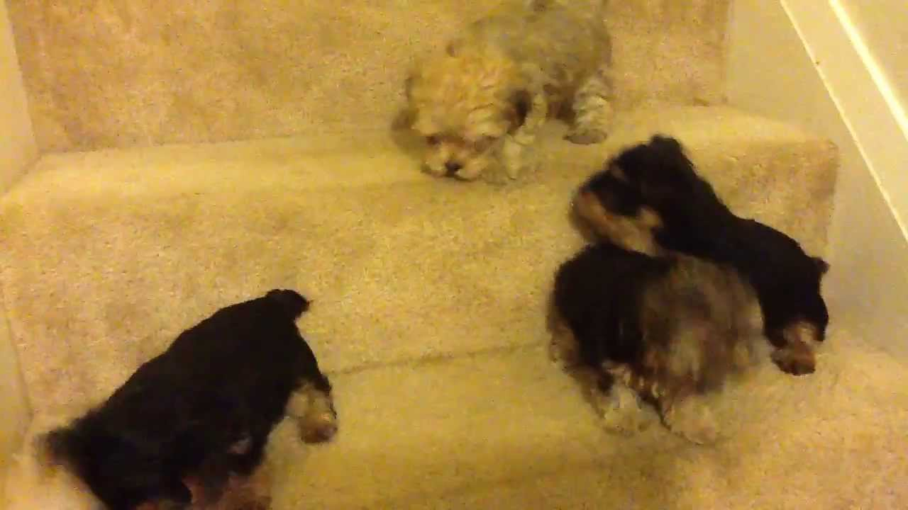 Tiny Yorkie Poo Puppies Looking For A Fun Home Is This You I