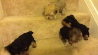 Tiny Yorkie Poo Puppies Looking For A  Fun Home | Gift Of Happiness [new Video]