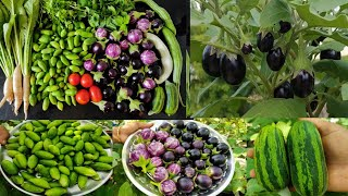 So Many Harvest🍅🍅🥒🥒 1 1/2Kg Eggplant🍆🍆1Kg Iטy Gourd And Vegetables Harvest @Maadi thottam Sachu