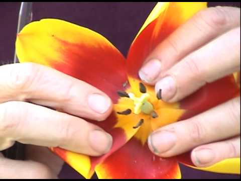 Edible Plants Tulip Youtube