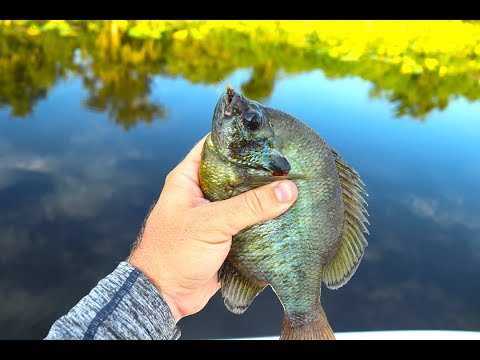 Fishing With Live CRICKETS For GIANT Bluegill (Surprising Results)!!