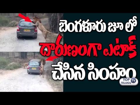 Lion Attacks Car in Bangalore Bannerghatta National ZOO Park | Exclusive Video | Top Telugu TV