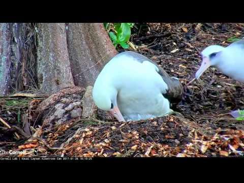 Kauai Laysan Albatross HI  1 26 17 448pm out of shell & hatched Congrats Mahealani & Pilialoha 1st F