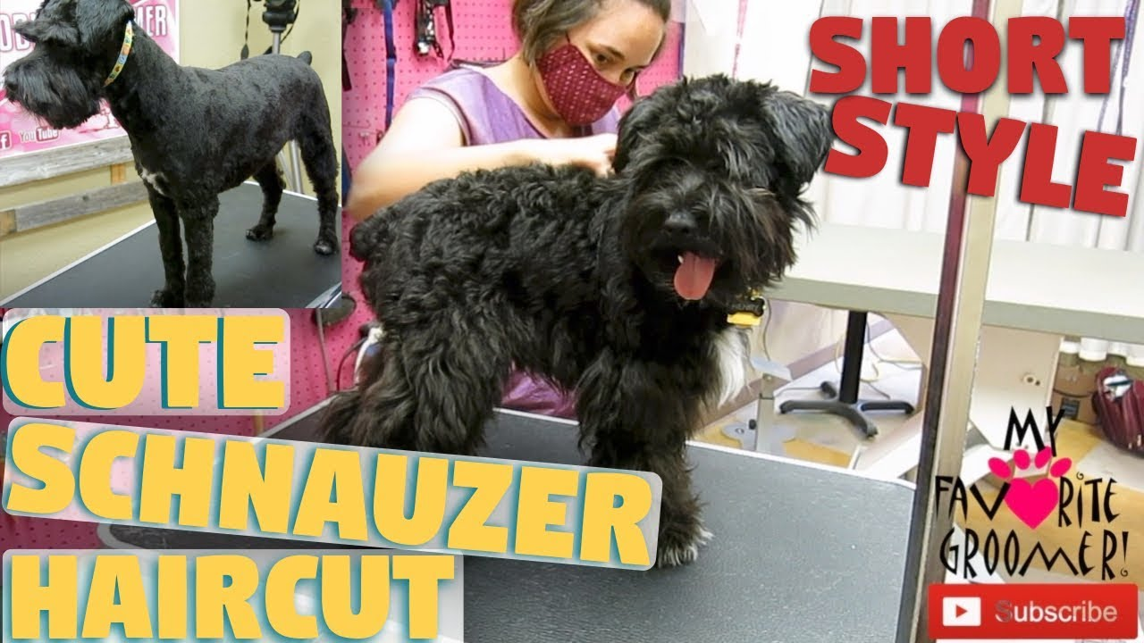 Cute Short Schnauzer Haircut You