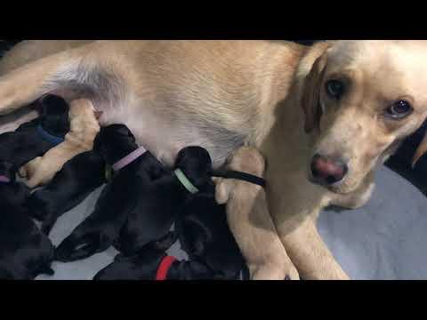 Della Newborn British Labrador...