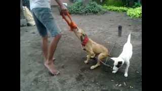 Anjing American Pit Bull Terrier Dijual