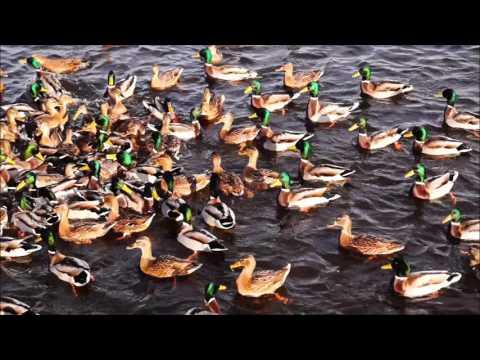 Утки не желают улетать из Екатеринбурга в тёплые края! Duck