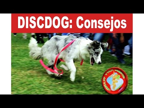Discdog: Un excelente deporte con Border Collie - Smartdogs | Tu Mascota TV