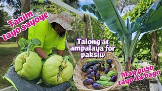 Planting Sayote | Harvest today pang paksiw | Talong at ampalaya | bagong puso ng saging