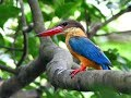 Amazing Nature And Fauna Of Kingfisher Birds  Mp3 - Mp4 Download