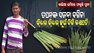 Special Story | Drumstick Farming Turns Odisha's Youth Farmer 'Lakhpati'