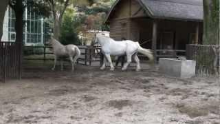 「千葉市動物公園」に3種類のお馬さんたちがいます。 「道産馬」、「シ...