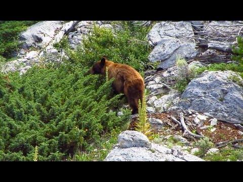 Yellowstone Black Bears