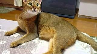 パトラ の 呼び声(meow.calling the owner)