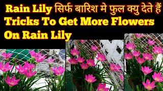 Tricks!! जो Rain Lily पे ढेर सारे Flowers लाएगा,How to Get More flowers On Rain Lily