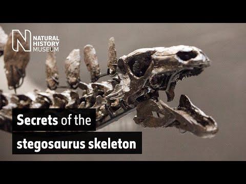Secrets of the Stegosaurus skeleton | Natural History Museum