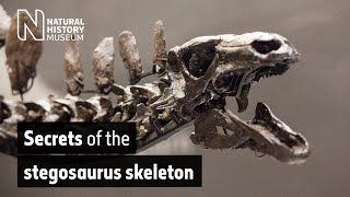Secrets of the Stegosaurus skeleton | Natural History Museum