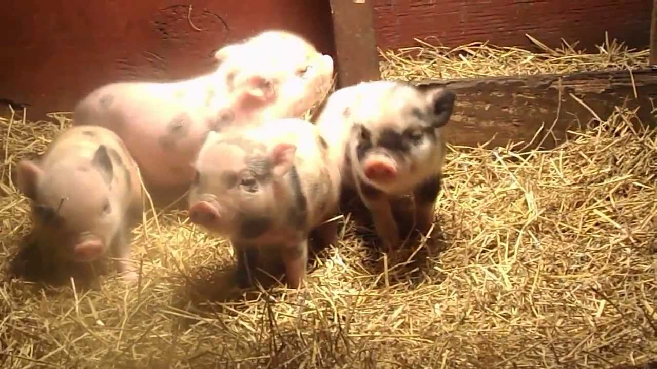 pet mini pig spam stolen from ohio home 4