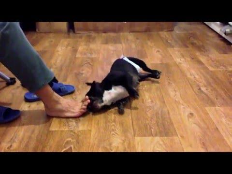 Американская акита – фото, видео, описание породы, отзывы