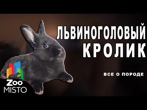 Львиноголовый кролик Все о виде грызуна   Вид грызуна львиноголовый кролик