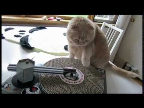 Scottish Fold Kitty Scratching Vinyl Dj Cat Scratch