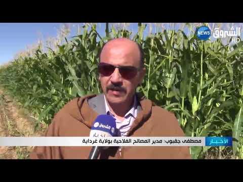 غرداية: توقعات بجني 600 ألف قنطار ممن منتوج الذرة العلفية بالمنعية