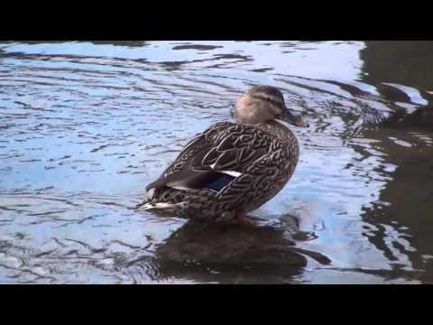 Ducks, I & M Canal, Lockport, Illinois