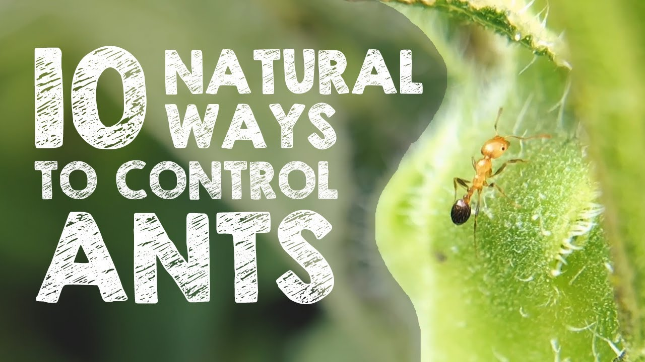 10 Natural Ways To Get Rid Of Ants Youtube