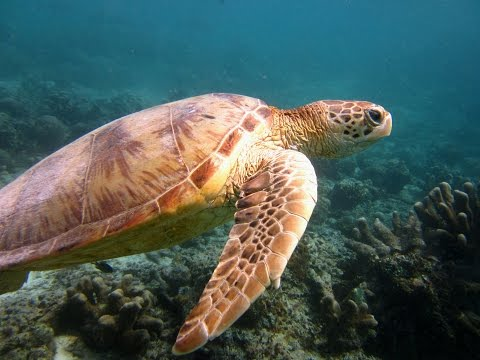 Turtles and other creatures in the Celebes sea